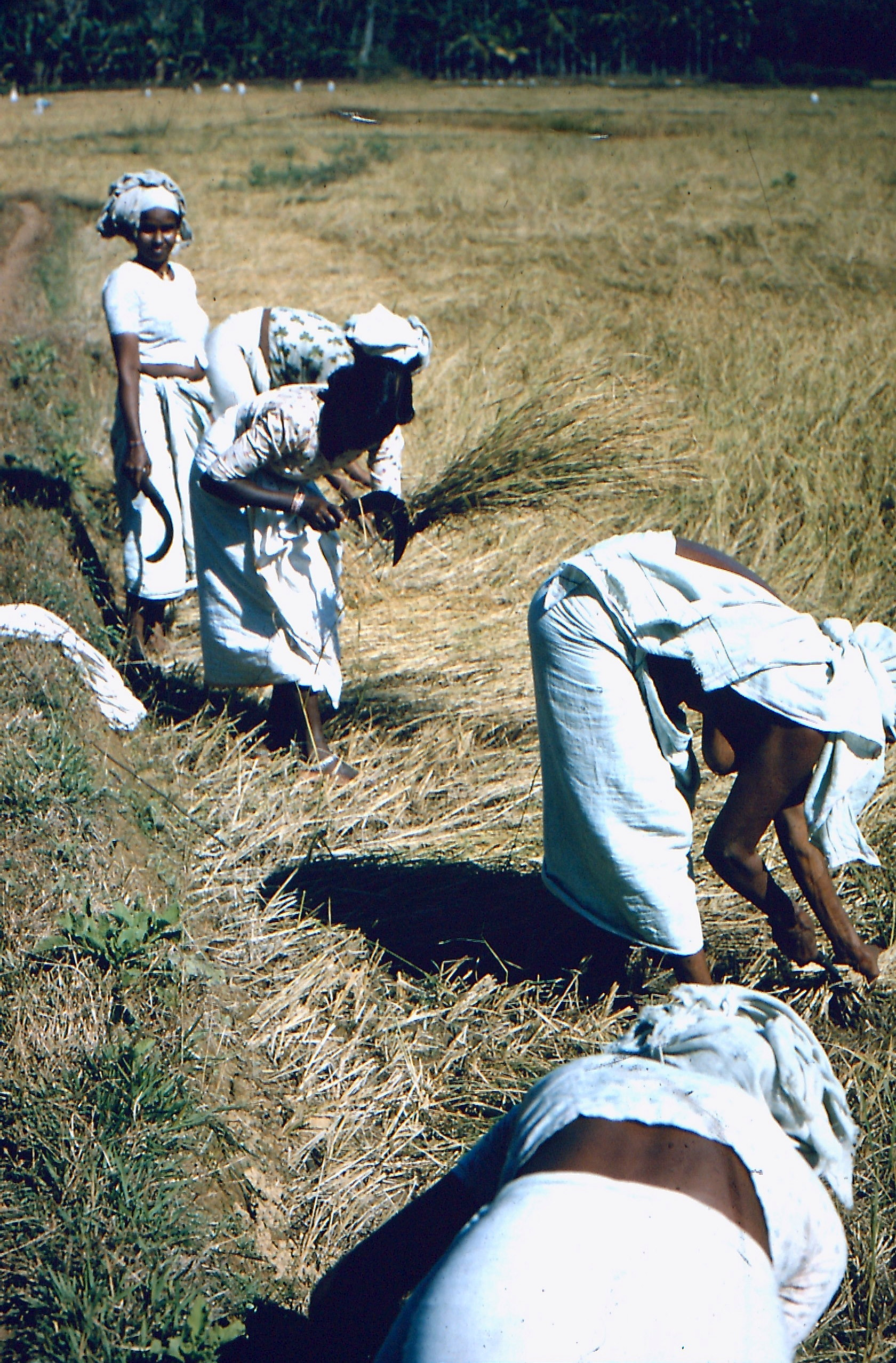 Harvesting in the 1970s, Kerala, India