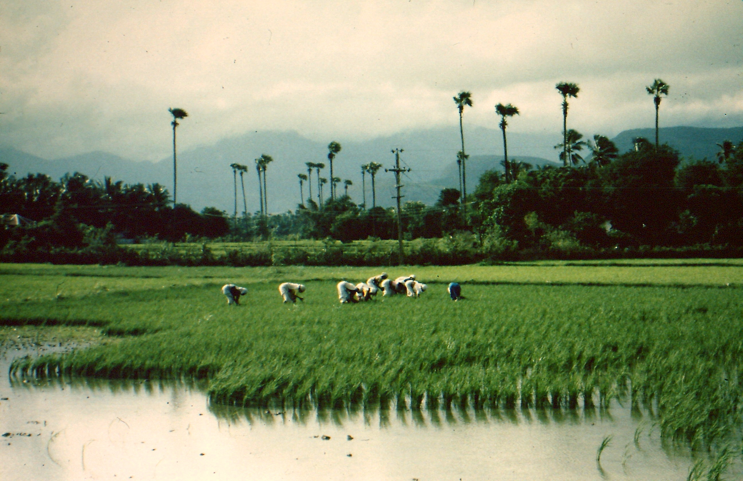 Rice farming in the 1970s, Kerala, India