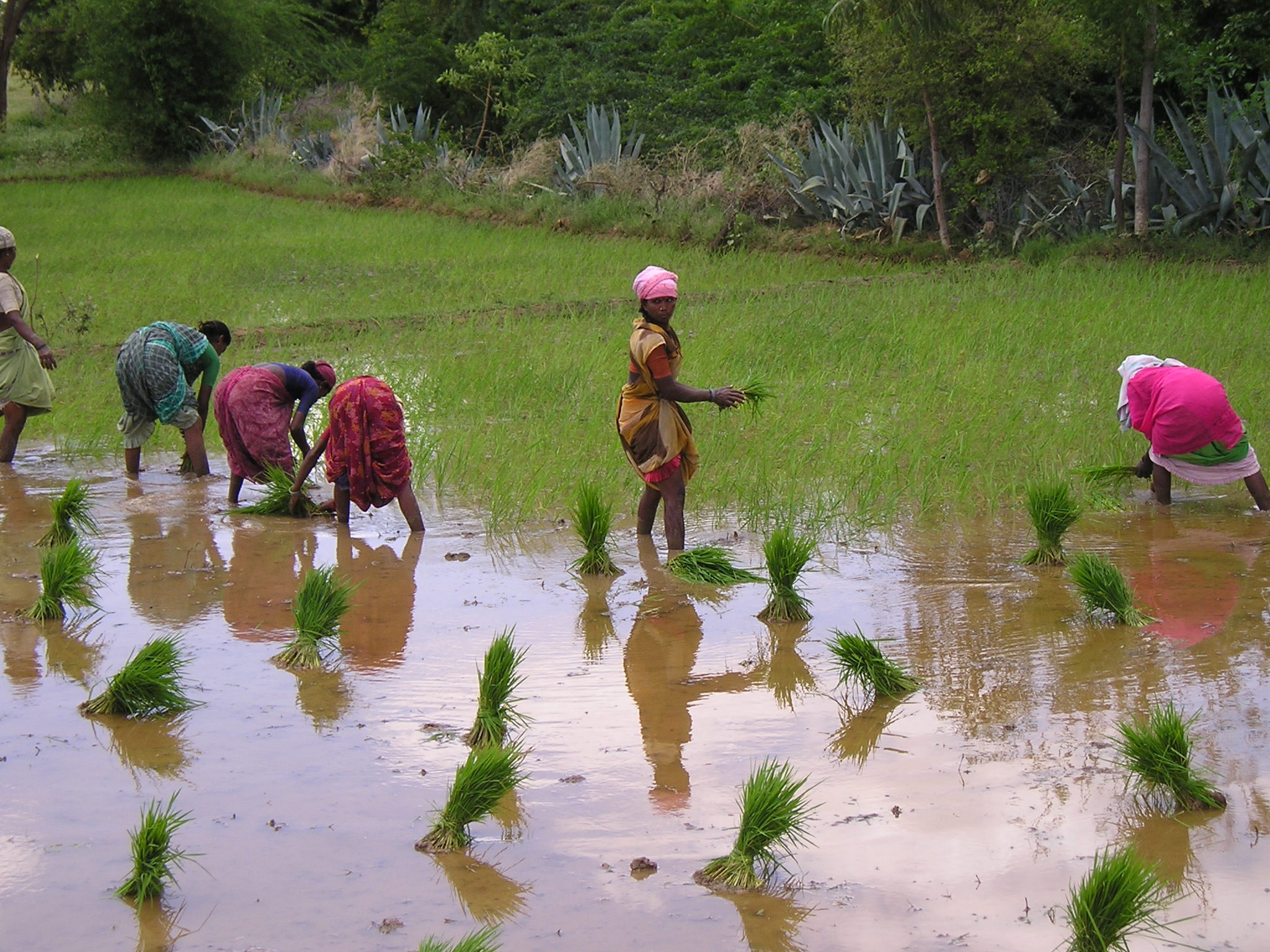 Women transplanting rice plants