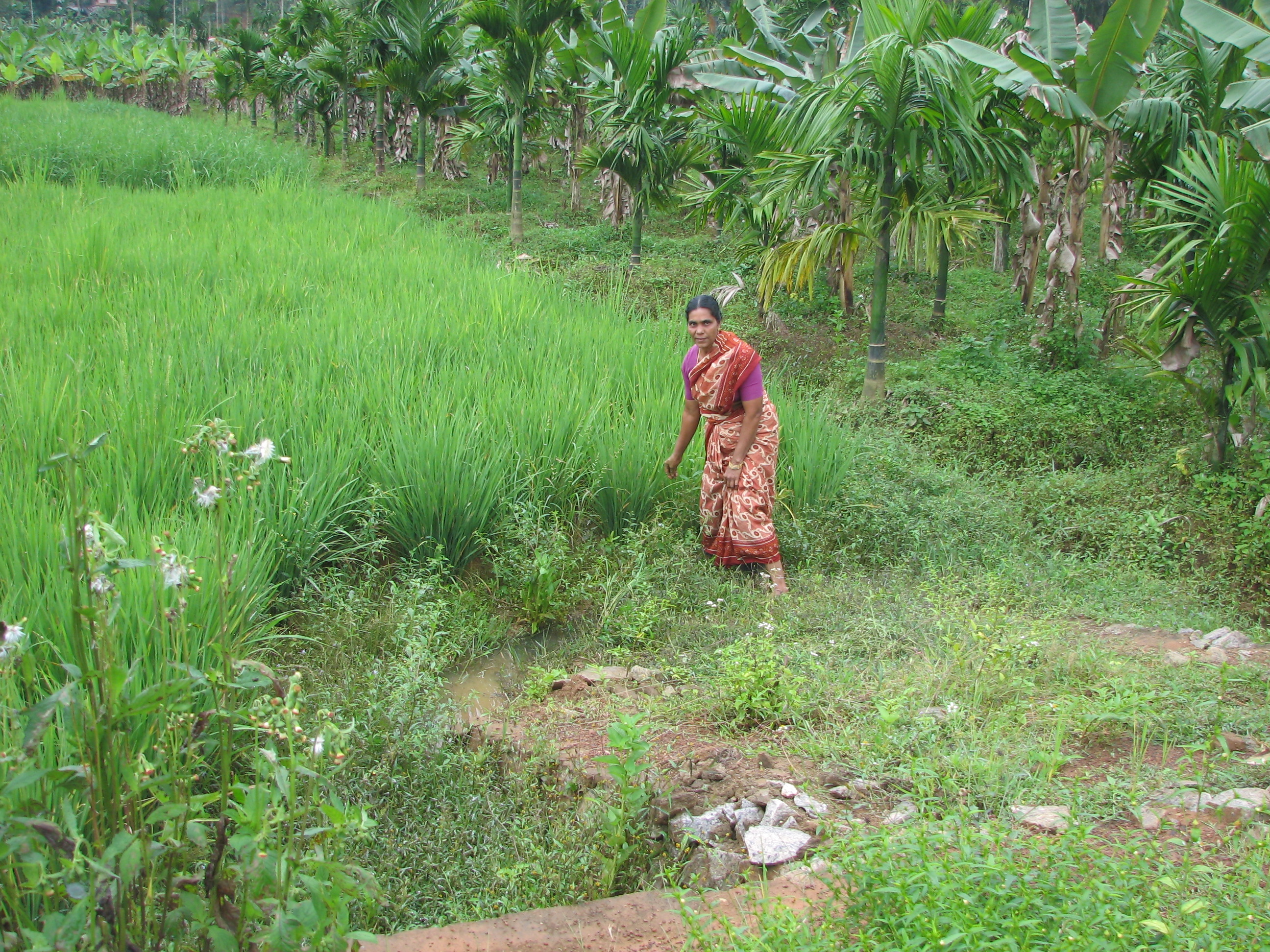 Farmer showing her SRI rice field